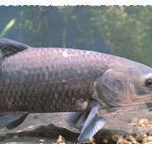 供应用于食用的黑鲩鱼鱼苗批发批发