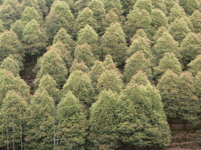 供应10工分樟树