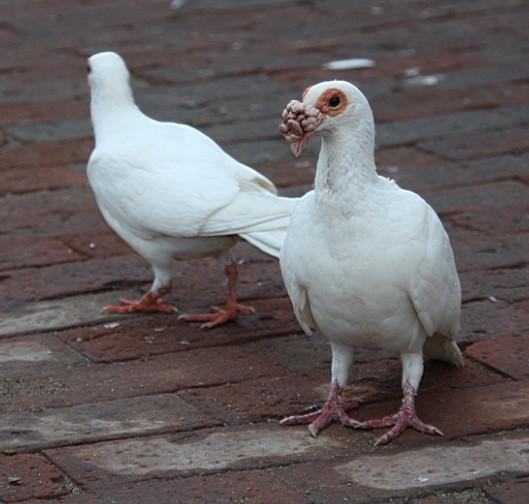 观赏鸽点子图片_观赏鸽子大鼻子【图片 价格 包邮 视频】_淘宝助理