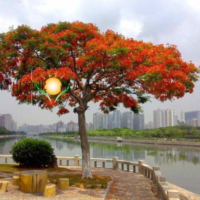 红花楹_供应红花楹种子,红花楹种子价格,四川红花楹种子