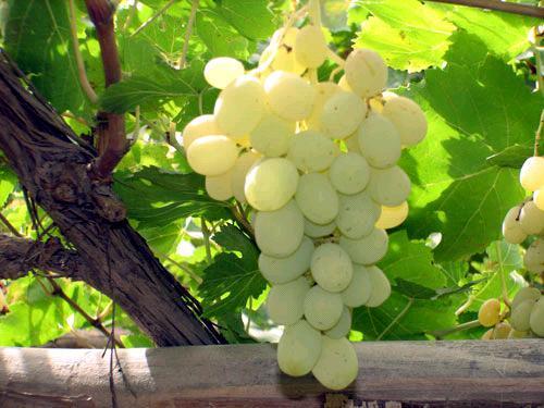 供应木纳格是什么/新疆木纳格是什么?/木纳格是什么葡萄品种