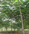 供应椿树价格臭椿树价格
