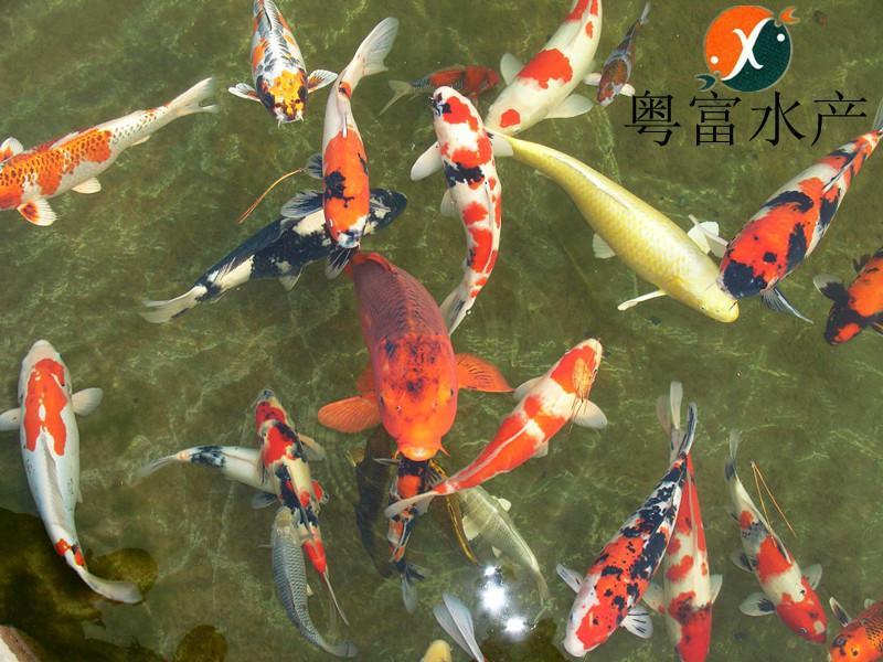 广州高档观赏鱼锦鲤苗怎么养图片大全