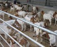 养殖波尔山羊效益怎么样图片
