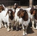 重庆波尔山羊种羊多少钱一只图片