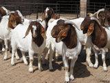 供应波尔山羊最新价格种羊羊苗多少钱一只河南养羊基地图片