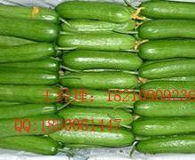 供应迷你型水果黄瓜种子水果黄瓜种子
