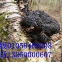 北京哪卖野生桦褐孔菌北京白桦茸图片