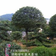 5公分湖南桂花树图片