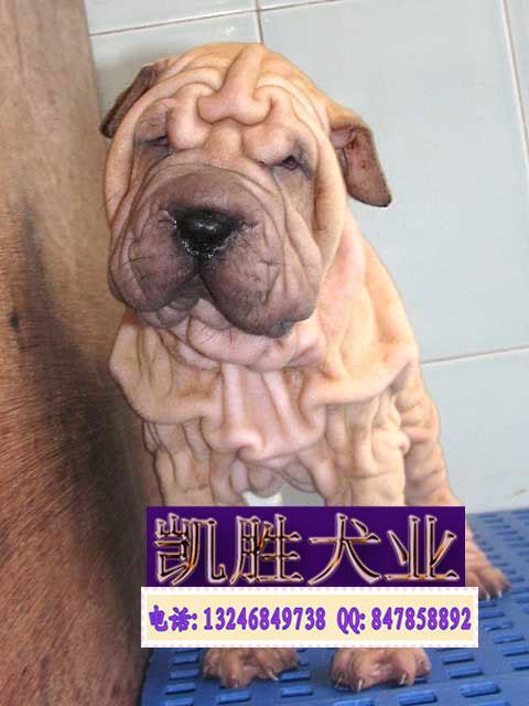 宠物沙皮狗_