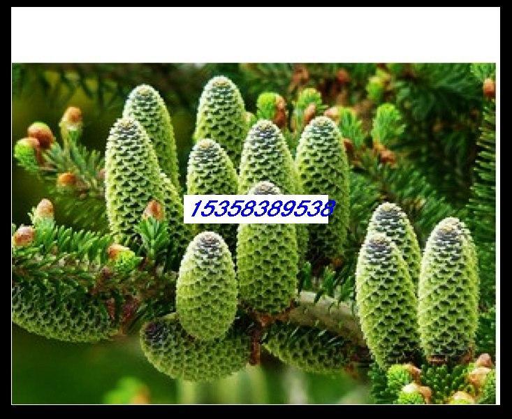 供应日本冷杉种子批发各种花木种子图片