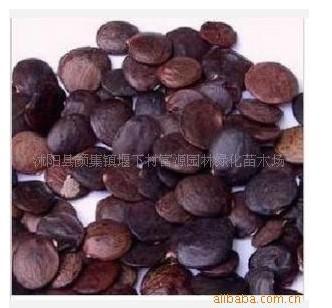 供应紫藤种子价格图片