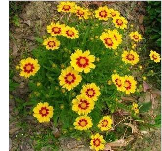 供应金鸡菊种子图片