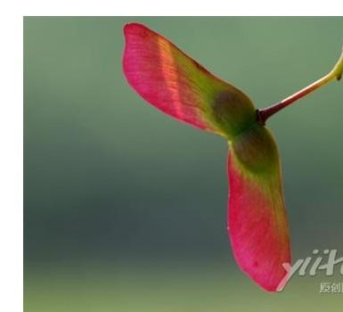 供应红枫种子种植技术栽培方法图片
