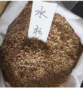 供应水杉种子播种方法种植栽培技术图片