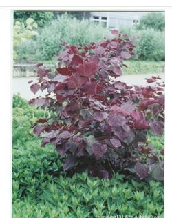 供应加拿大紫荆种子价格供应商批发供应图片