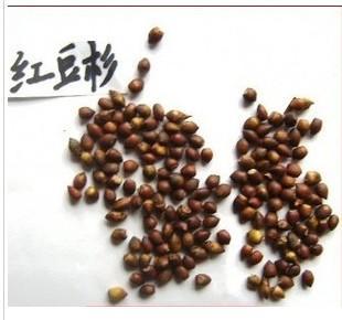 供应曼地亚红豆杉种子南方红豆杉种子图片