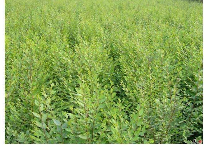 供应榆树苗白榆树苗各种绿化苗木供应图片