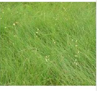 供应草坪种子供应商图片