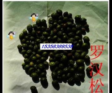 供应罗汉松种子图片