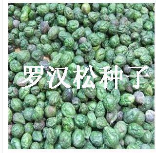 供应罗汉松种子播种方法图片