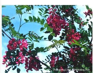 供应香花槐种子批发图片
