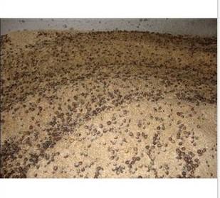 供应红豆杉种子栽培方法图片