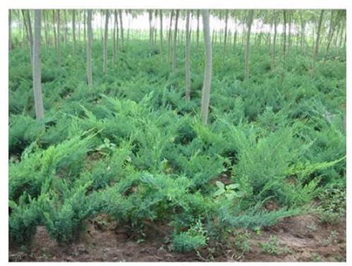 供应各类绿化苗木乔木灌木色块植物批发图片
