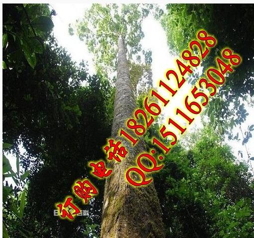 供应擎天树种子播种方法栽培技术图片