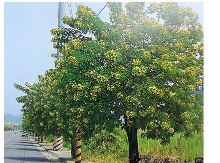 供应黄花槐种子供应商图片
