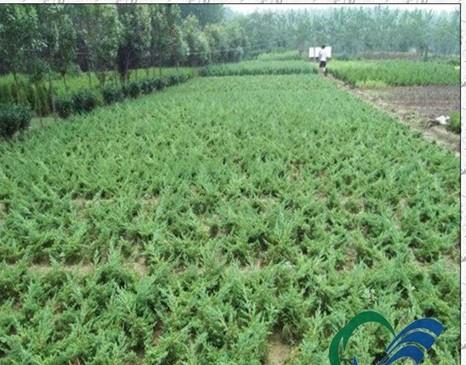 供应地柏苗地柏苗木供应各种地被植物苗图片
