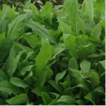 供应苦买菜种子牧草种子批发草花种子图片