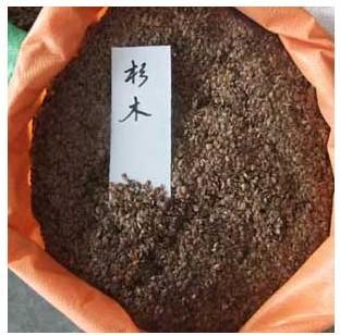 供应杉木种子播种方法种植栽培技术图片