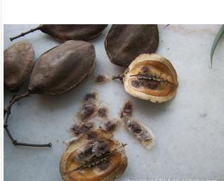 供应蓝花楹种子批发各类绿化苗木种子图片