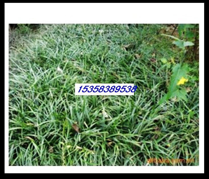 供应天鹅绒种子价格图片