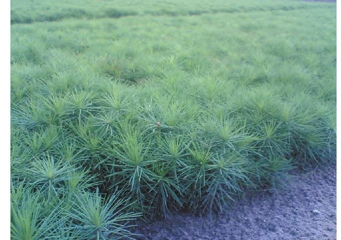 供应樟子松种子供应商樟子松种植技术图片