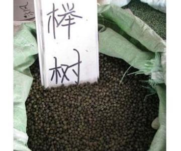 供应榉树种子的种植方法栽培技术图片