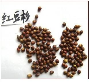 供应红豆杉种子批发沙藏各类红豆杉种子图片