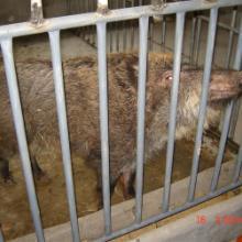 供应特种养殖动物野猪养殖基地
