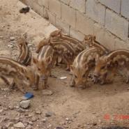 河北特种野猪养殖野猪肉加工野猪种图片