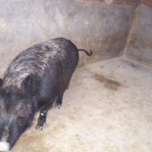 供应鹅养殖环江香猪养殖野猪肉供应