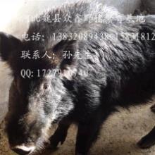 供应天津特种野猪养殖北京纯种野猪