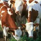 江西养殖肉牛利润波尔山羊价格图片