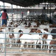 重庆养殖波尔山羊利润图片