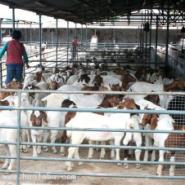 浙江哪有波尔山羊养殖场图片