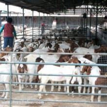 供应最新波尔山羊种羊价格波尔山羊孕羊价格图片