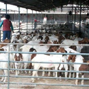 湖南养殖波尔山羊利润波尔山羊价格图片