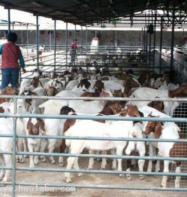 波尔山羊养殖场图片/波尔山羊养殖场样板图 (1)