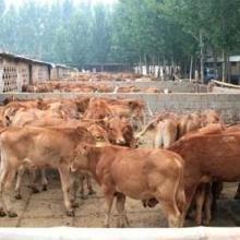 供应湖北养殖小黄牛小黄牛价格湖北肉牛养殖场图片