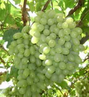 供应维多利亚葡萄/青提葡萄